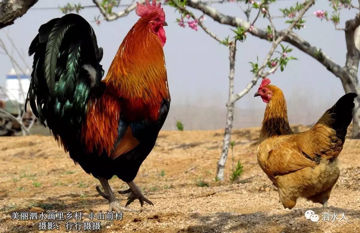 我有两张鸽子,一张是威武的蚊子,一张是a鸽子的图片,我家里有公鸡怎样捉不虽图片