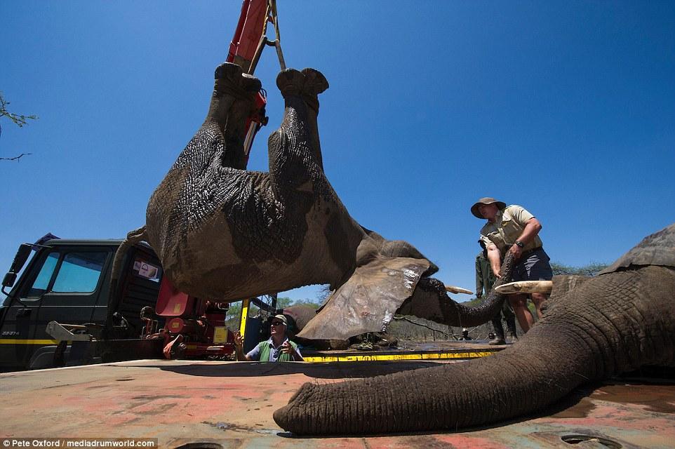 南非自然保护区4吨重大象被吊起装车送