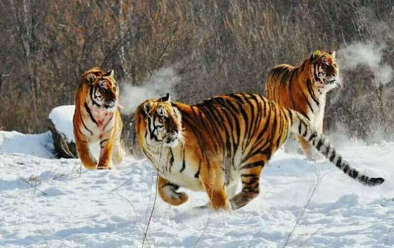 黑龙江省将启动东北虎豹国家公园建设图片