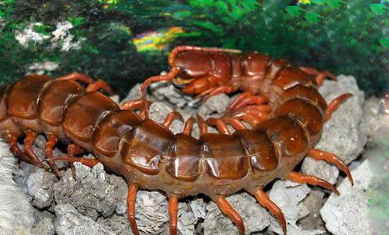 2米的中国红巨龙蜈蚣