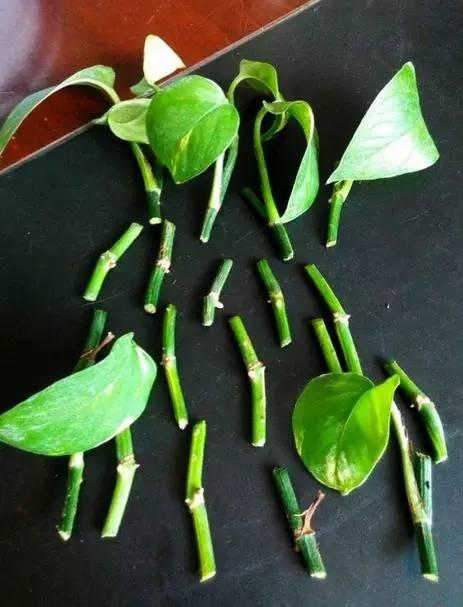 绿萝新长出的叶子好像被虫吃了,但是检查也没发现虫子图片