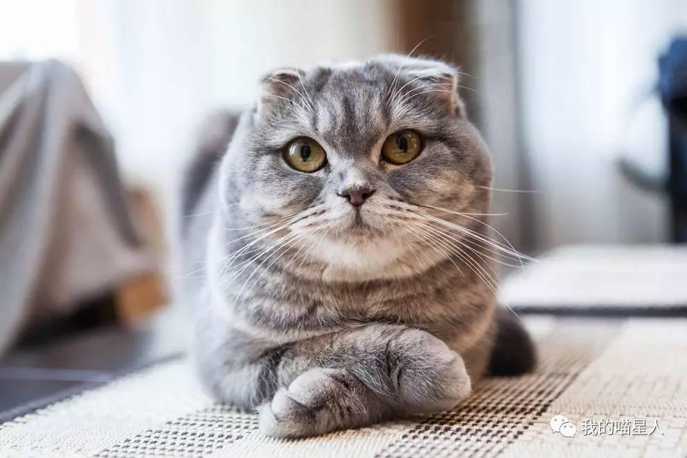 苏格兰折耳猫有遗传病吗?怎样治疗和预防?