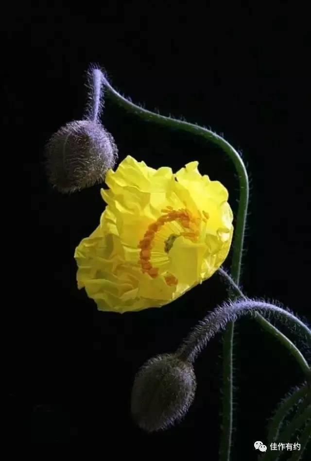 【图片新闻】七彩罂粟花,太惊艳了! - 耄耋顽童 - 耄耋顽童博客 欢迎光临指导