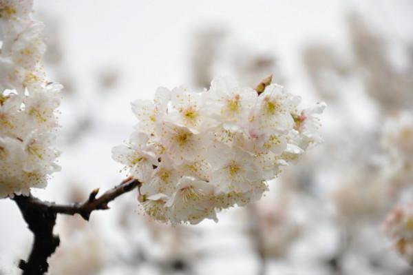 风吹拂而成_山风吹拂,花雨飘飘,像雪花凌空而舞,偶尔有花瓣黏在发梢或肩头,正是