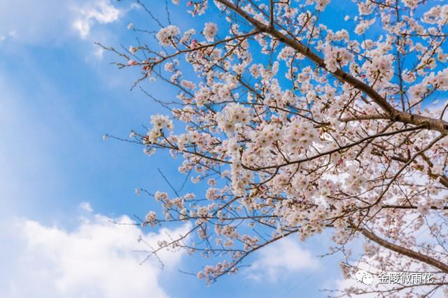 南京最in的樱花粉和静谧蓝就在雨花,美爆了