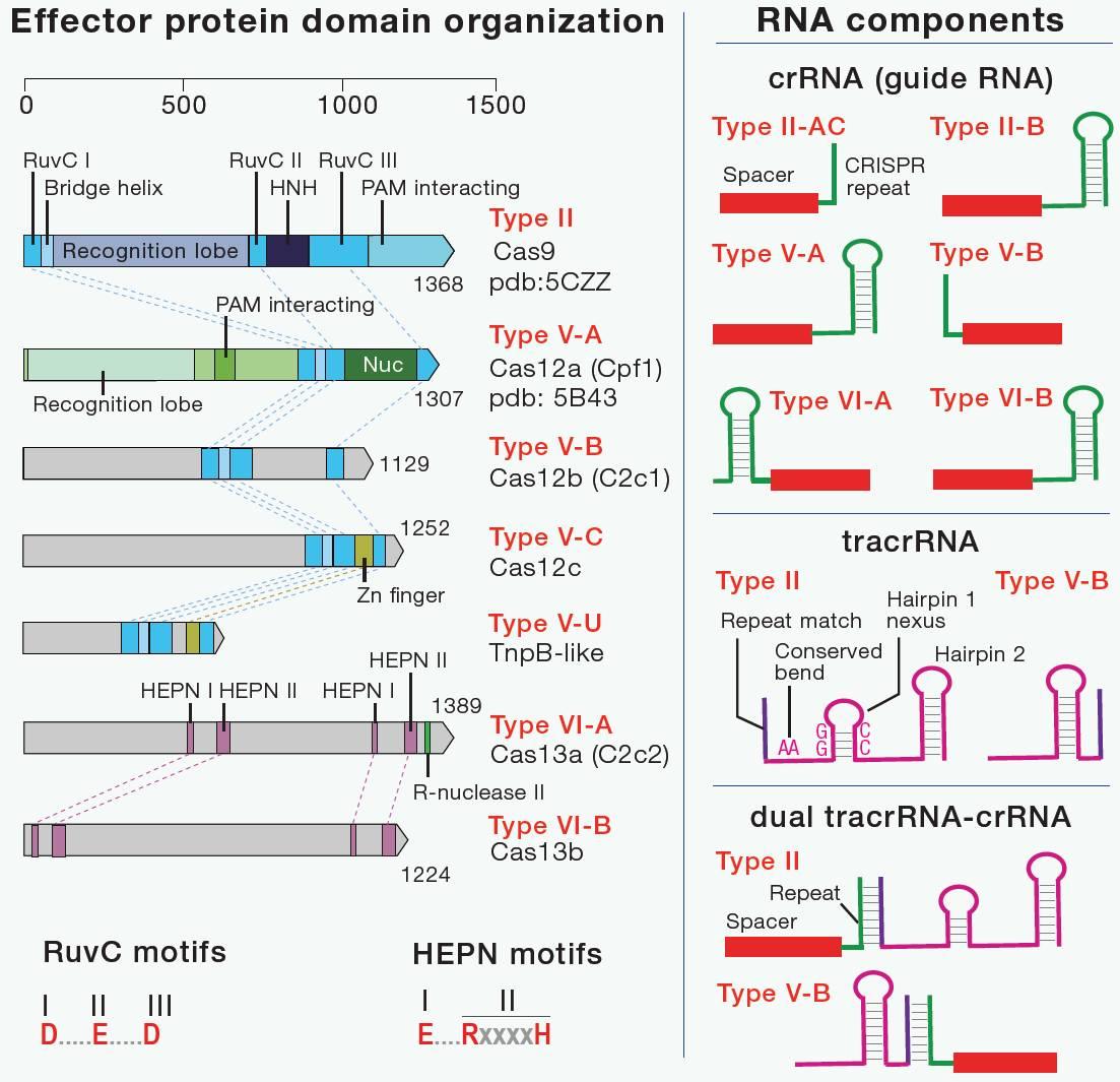 这两个结构域分别负责切割dna链的两条链,并且这两个结构域能够单独地
