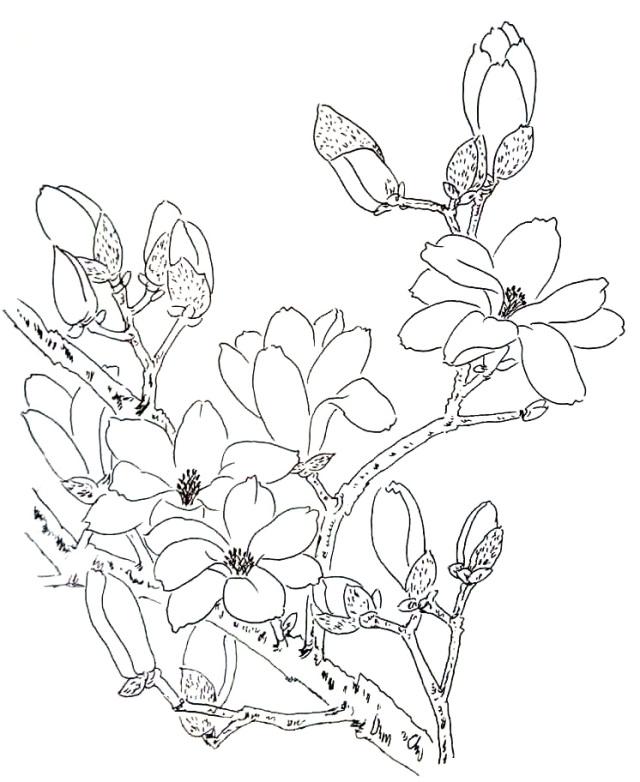 【漫画百科】玉兰花为什么先开花后长叶?图片