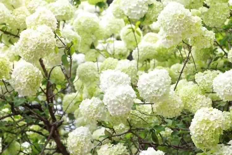 其它 正文  迎春花,顾名思义是春天来到的信号,花期在3-4月间,马路边