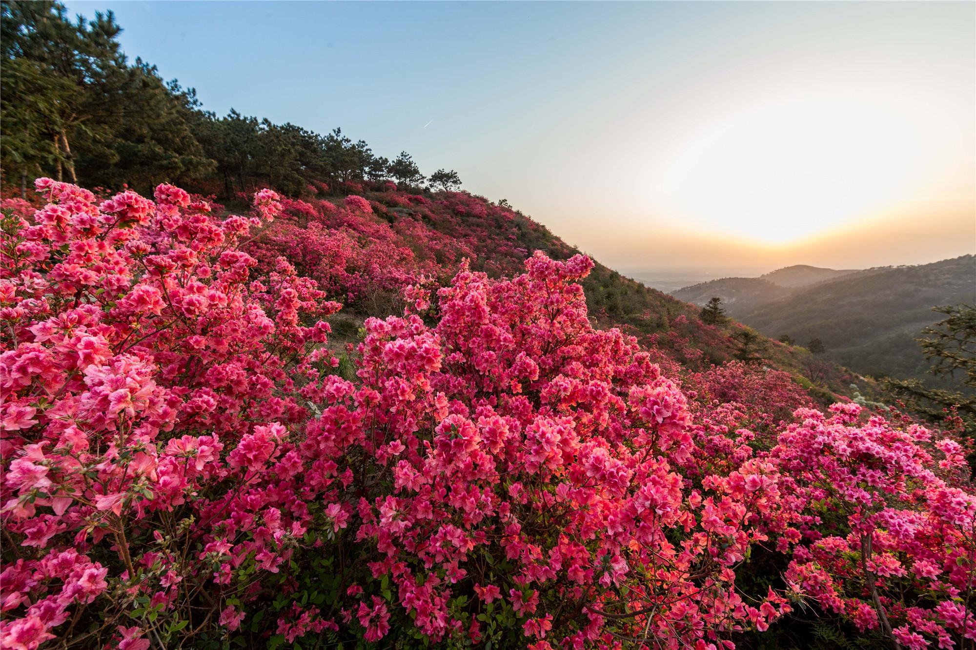 武汉云雾山,杜鹃花红遍山野