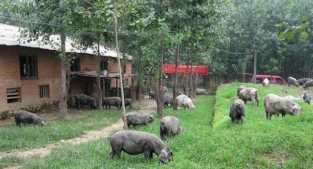 土猪养殖网