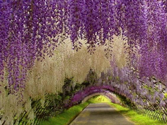 一场比樱花更浪漫的日本紫藤之旅,要一起来么