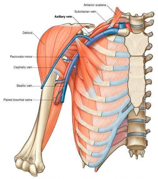 图1 腋静脉解剖:锁骨下静脉向外过第一肋骨延伸为腋静脉(Axillary