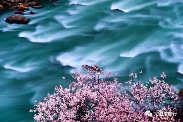 林芝桃花 | 春天的情诗图片