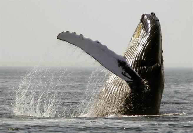 猎杀330只鲸鱼 日本5艘捕鲸船自南极海域返国