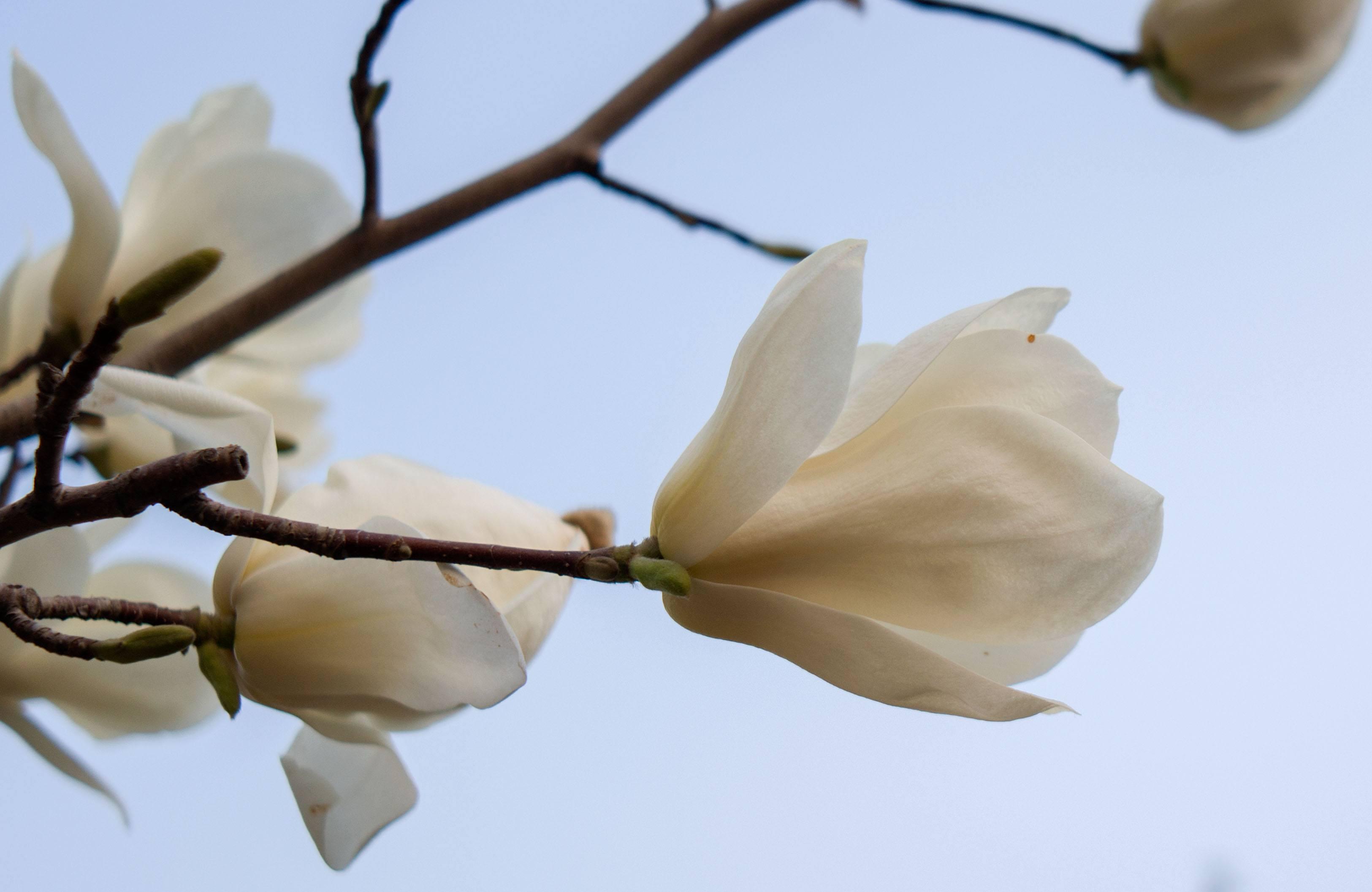 兰州玉兰已经开花了,你见了吗