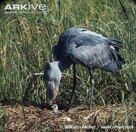 食谱、儿童、营养的鳄鱼!这真的是一只鸟的食巨蜥抄报水蛇年幼早餐手图片