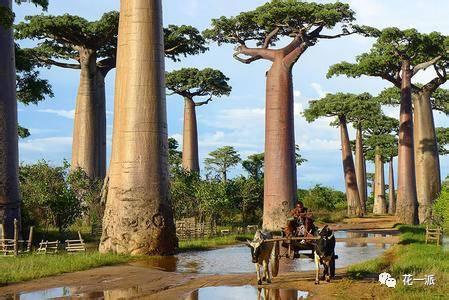 """猴面包树又叫波巴布树、猢狲木,是大型落叶乔木。猴面包树树冠巨大,树杈千奇百怪,酷似树根,树形壮观,果实巨大如足球,甘甜汁多,是猴子、猩猩、大象等动物最喜欢的食物。当它果实成熟时,猴子就成群结队而来,爬上树去摘果子吃,""""猴面包树""""的称呼由此而来。"""