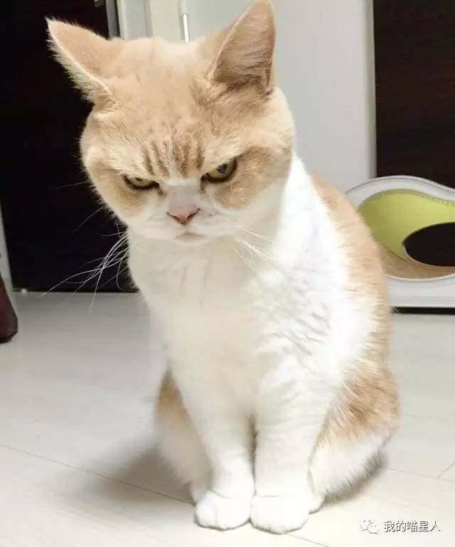 Image D Un Grumpy Cat