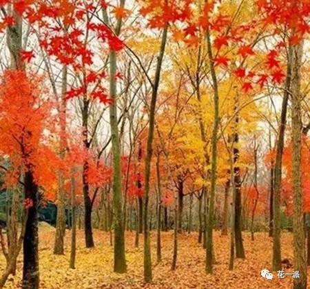 糖浆树:从前有一个北美印第安部落的酋长,每天打猎归来都会顺手把手中的石斧劈叉在家门口的大树上。某个三月的早晨,那棵大树开始慢慢地从斧子砍伤的缺口处流淌出汁液,正好滴进了树下的一个木桶里,那是酋长的妻子每天打水用的。当天,酋长的妻子就用桶里的水做晚饭,没想到做出的晚饭特别香,还带有一种特殊的甜味。从此,北美的印第安人发现了树里流出的汁液可以提炼出糖浆,而那种树就是北美特有的糖枫树。