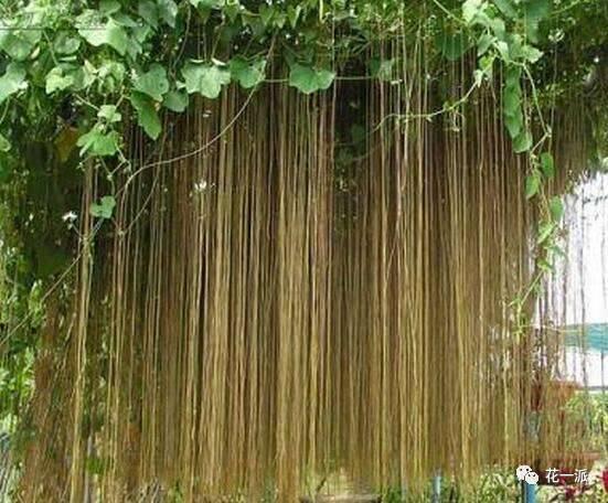 """面条树,夹竹桃科常绿乔木,树干粗壮,枝叶茂盛,叶大而美,一叶三色。广泛分布于南太平洋一些岛屿国家,中国的广东和台湾等地也有种植。因其果实富含淀粉,待成熟后,当地人将其采摘晾晒贮藏起来,食用时放在水里煮熟,捞出拌上佐料,吃起来和真正的面条差不多,故名""""面条树""""。由于它的木材特别适合做黑板,当地人也称其""""黑板树""""。树皮划破后,流出的乳白色汁液含有剧毒。"""
