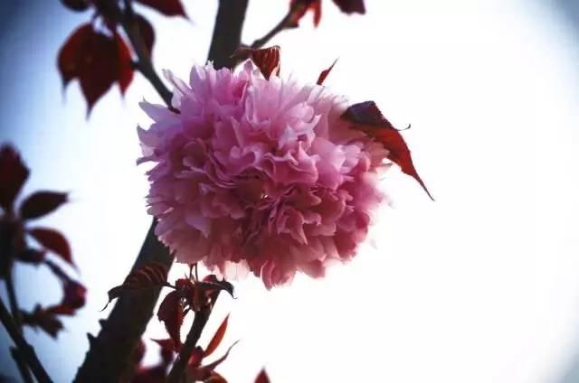 樱花手绘图壁纸