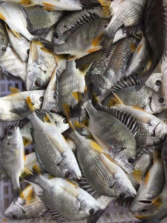 卖鱼郎家的黄翅鱼常年来自各位海钓大手,每一条都是活冻,这里就要讲到图片