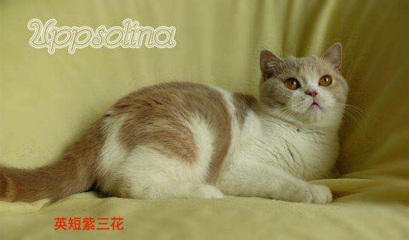 重点色英国短毛猫价格图片