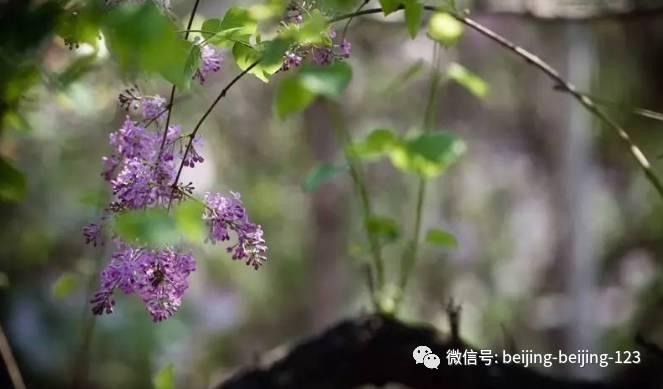 著名的宣南诗社更在此留下众多丁香彼时法源寺诗篇,崇效寺丁香,恭灵芝茶和牡丹一起泡图片
