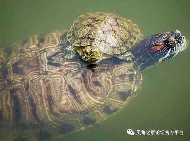 夏天饲养乌龟的有关注意事项
