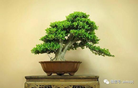 黄杨盆景 手把手教你玩好黄杨盆景,很实用的黄杨盆景栽培管理方法
