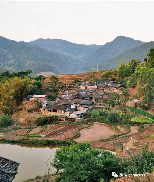 小景谷古树茶特点图片