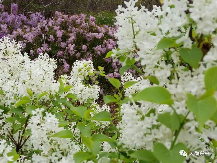 作为丁香和丁香用的中药,和用于观赏的丁香是两种完全不同的植物.别墅湖香料图片