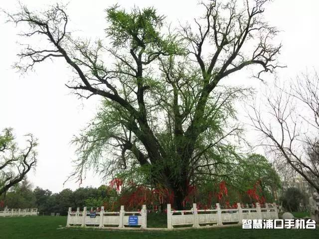 藏在古寺里的三棵银杏树,美了1500年