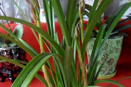 剑舌兰花语图片