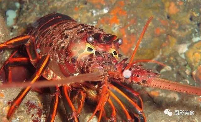 世界著名龙虾大全