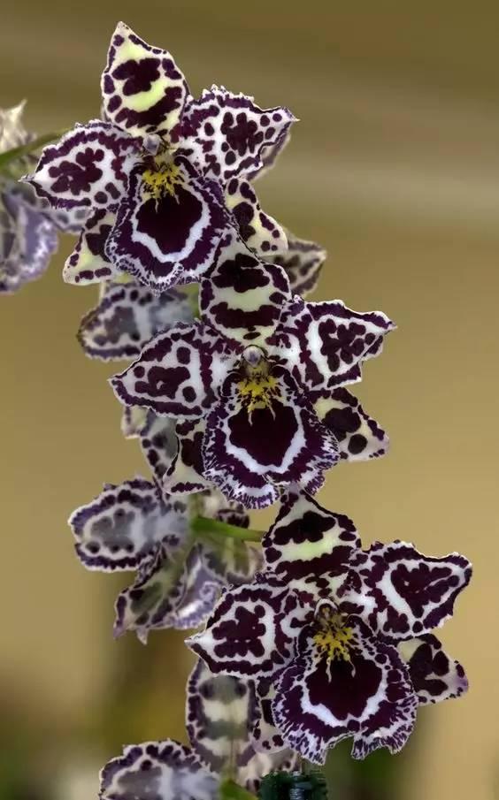 无价之宝!40种珍稀兰花,太美太珍贵了!图片
