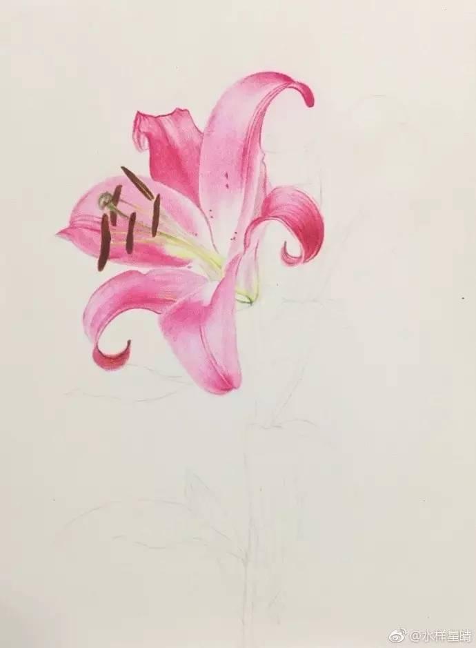 彩铅手绘-粉百合