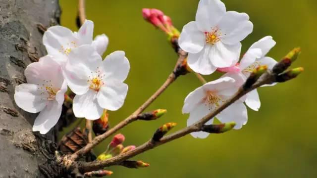 怎样分辨:桃花,杏花,李花,樱花,梨花.