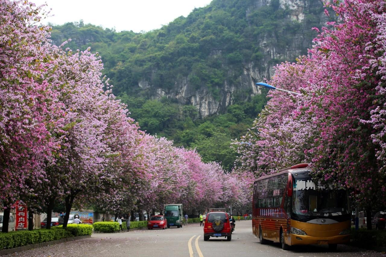 视 艳压全国 柳州紫荆花霸屏这个春天