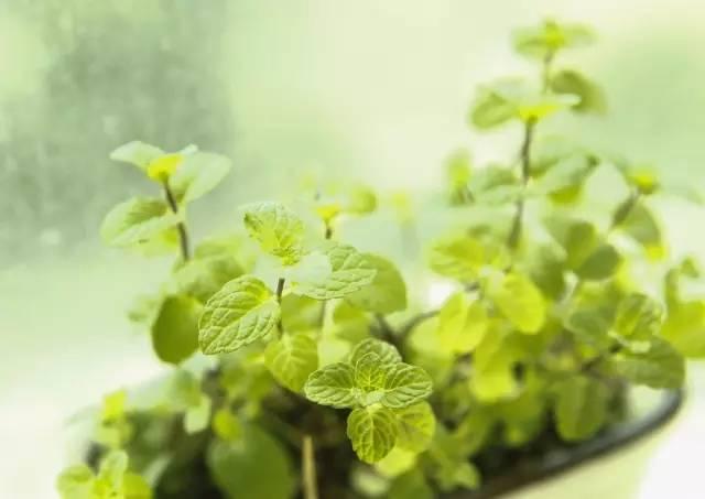 这些植物养在家里,蚊虫不见了!给夏天做准备吧