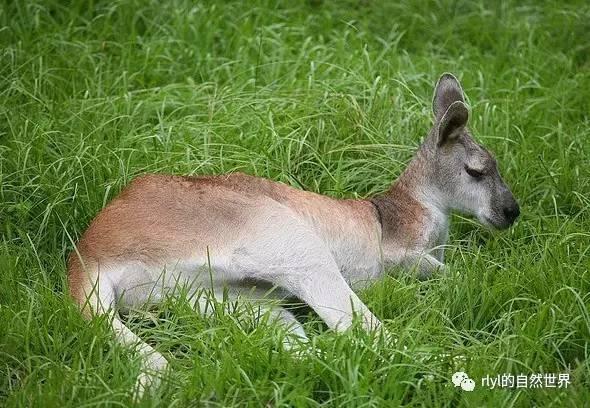 今日 羚大袋鼠 Antilopine kangaroo