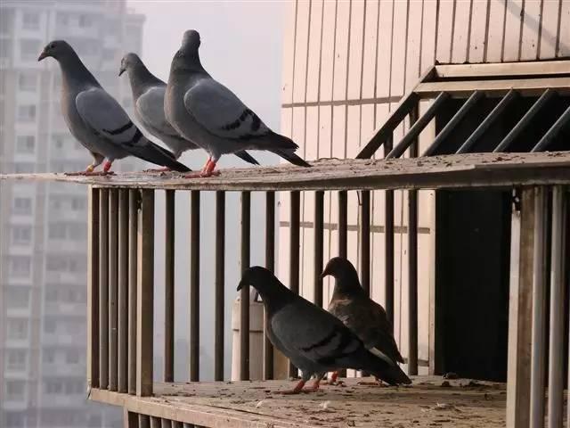 鸽友对游棚鸽的几种处理办法   幼鸽游棚   1、刚能飞的幼鸽   引种或买