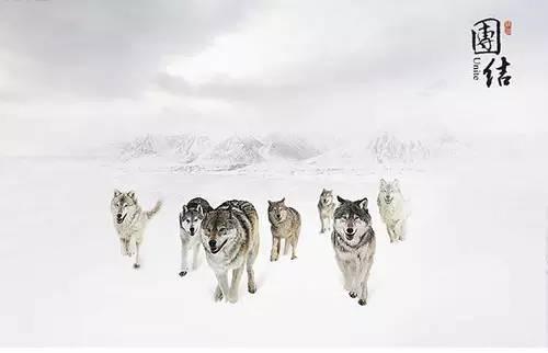 狼的智慧600字作文图片