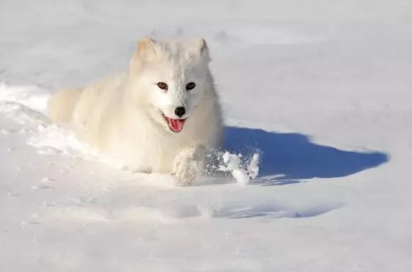 狼的智慧图片