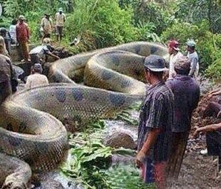 社会 正文  呑象巨蛇 非洲巨蟒只有少量的化石被发现.
