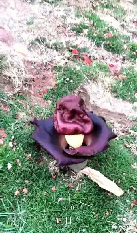 尸香魔芋和彼岸花图片