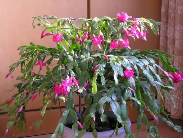 几种耐阴的开花植物,散射光就能养