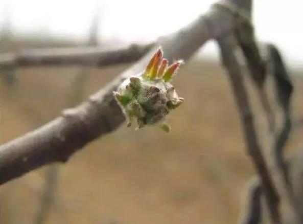 苹果管理工作 修剪复剪 刻芽抹芽 拉枝环割,你都会了吗