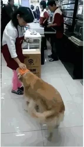 大金毛独自去便利店买了包小馒头,没想到刚出门口就被打劫了!