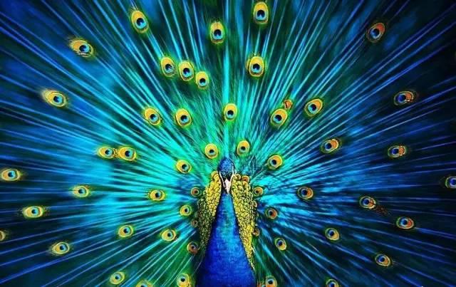 欣赏丨孔雀开屏的瞬间,让世人窒息的美